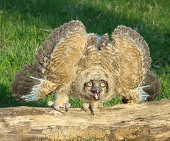 owlet number 1