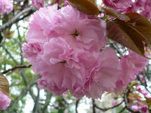Japanische Kirschblüte 2
