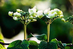 8595-bloempjes (Bram Meijer) Tags: white green spring groen lente wit bloesem cornus clingendael kornoelje kornus
