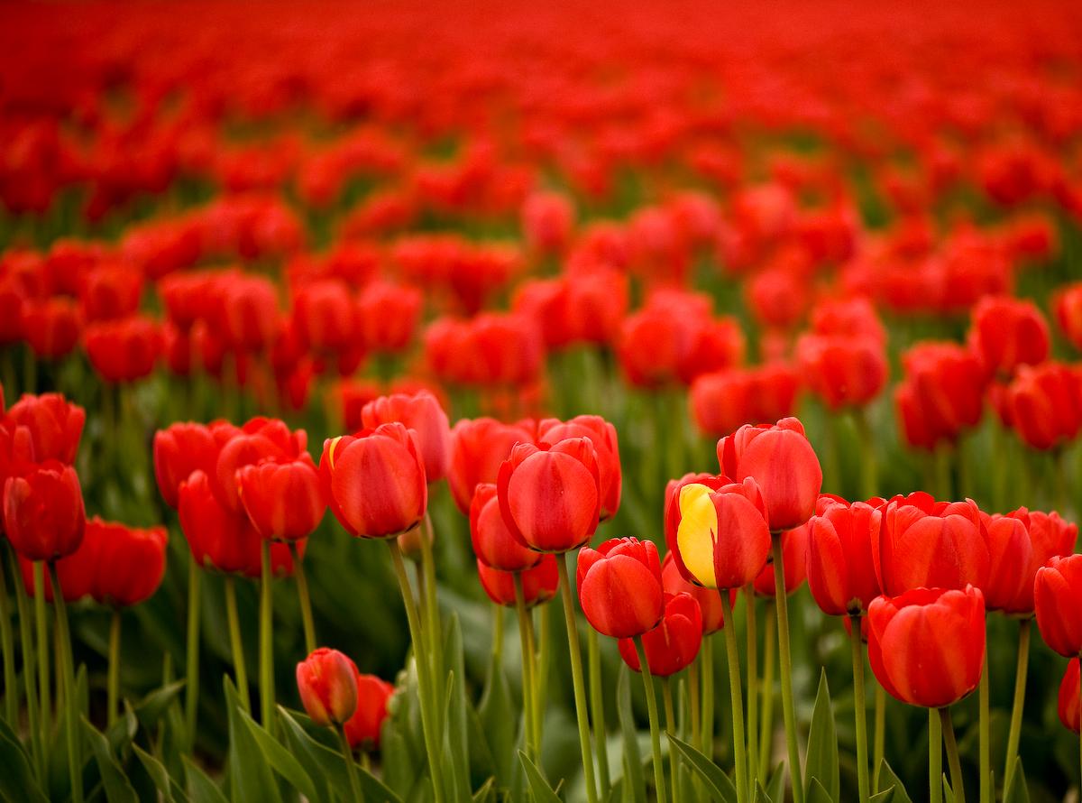 Tulips (3 of 8)