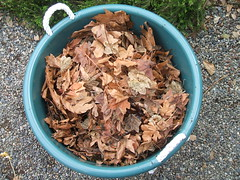 Maple leaves to mix with water (greenwalksblog) Tags: bin worm worms compost redwigglers vermiculture redworms composting settingup eiseniafoetida