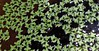Pale Duckweed (Lemna valdiviana) LENTEJITAS DEL AGUA ~ Original = (2080 x 1067) (turdusprosopis) Tags: araceae aquariumplants aquaticplants aquaria florachilena aquaticplant lemna lemnaceae plantasdechile pianteacquatiche plantasacuáticas waterlentils lentejasdeagua floranativadechile plantesaquatiques wasserlinse floraargentina lentejitasdeagua floradechile aráceas lentilledeau lentejitas floranativachilena plantasflotantes plantasargentinas plantasdeargentina naturalezaargentna naturalezadelaargentina plantasautóctonasargentinas plantasautóctonasdelaargentina floraautóctonaargentina floraautóctonadeargentina plantasnativasargentinas plantasnativasdeargentina plantasnativasdelaargentina floradelaargentina floradeargentina plantasautóctonasdeargentina floraautóctonadelaargentina floranativabrasileira floranativadobrasil floradobrasil plantaschilenas plantasnativaschilenas plantasnativasdechile argentineindigenousplants lentejitasdelagua lentejasdelagua lemnáceas subtropicalaquaria tropicalaquaria lemnoideae plantasparaacuarios plantasdeacuario plantasacuáticasflotantes lentilhasdeágua duckweedfamily 개구리밥아과 ਡਕਵੀਡਤਕਨੀਕ 浮萍科 eenzaadlobbigeplanten rzęsowate sumercimeğigiller lemnàcia lemnas lemnavaldiviana lemnavaldivianaphil