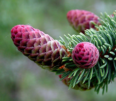 Purple Cones 3 (truan) Tags: colorado evergreen needles cones conifer whitefir