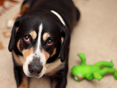 My favourite Photo Model (manfred.d) Tags: dog pet eyes sweet sennenhund entlebucher entlebuchermountaindog