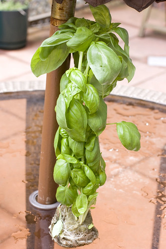 hydroponic basil