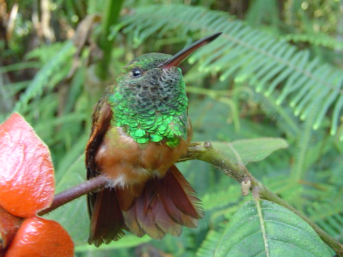 Amazilia castaneiventris Chestnut-bellied Hummingbird (Endangered) by ProAves.