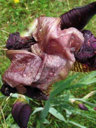 Crumpled Iris