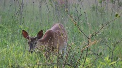 Deer (T1i HD Video) (SerialCoder) Tags: canon video deer hd t1i