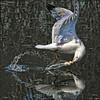 ~ swoosh ~ (ViaMoi) Tags: water action seagull gull dip swoosh digitalcameraclub abigfave fbdg viamoi 100commentgroup thewonderfulworldofbirds baitthebird
