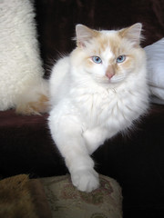 Poser (najjie) Tags: old blue cats white cute cat point chair maroon blueeyes tan cream kitty couch flame kitties eyed whitecat ragdoll gertie sherlock colorpoint flamepoint
