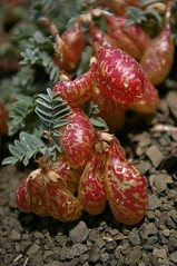 Locoweed pods2