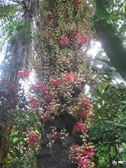 Cannonball Tree, Hawaii Tropical Botanical Garden