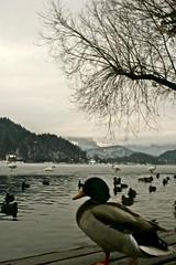 PATO EN EL LAGO DE BLED -ESLOVENIA- (alvarofontaneda) Tags: lago bled eslovenia lagodebled