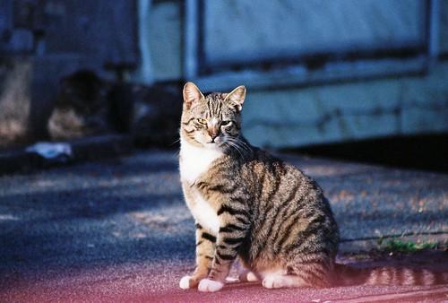 Star Tuxedo Tabby Cat color