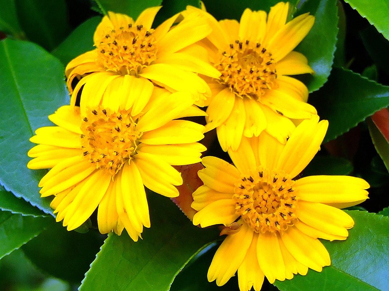Wedelia image