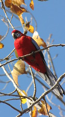 Crimson Rosella (tom_2014) Tags: color bird crimson parrot australia parakeet canberra rosella act elegans australianbird crimsonrosella platycercus platycercuselegans