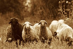 Sheep (king David Israel) Tags: barcelona madrid patagonia white newyork paris rome color colour london nature field animal sepia canon landscape nikon sheep 7d campo ganado animales mm melilla ovejas
