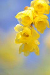 Wintersweet (*Sakura*) Tags: winter macro yellow japan bluesky explore sakura  wintersweet    overtheexcellence