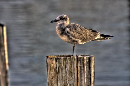 Miami Seagull
