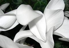 Ciclamini (.。.:*・゜☆ ЭЅТЄЯ ☆゜・*:.。.) Tags: flowers white 2008 natale petali vaso bianchi pranzo cesto ciclamini