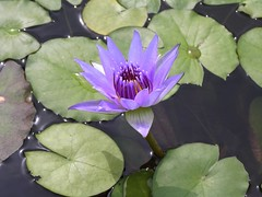Purple Water Lily (lika2009 (in the U.S.A.)) Tags: pond waterlily lily purple august 2006 greenhouse dome tropical yumenoshima yumenoshimatropicalgreenhousedome