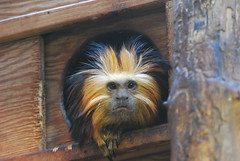 Peek-a-boo (afagen) Tags: animal zoo monkey smithsonian dc washington nationalzoo primate tamarin nationalzoologicalpark leontopithecuschrysomelas goldenheadedliontamarin