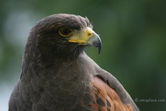 Harris Hawk II