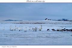 Birds on a cold winter day (Runar F) Tags: winter snow cold birds island geese iceland islandia nieve swans invierno fro gsir lftir goldstaraward
