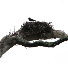 crow on eagles nest - clarence river NSW (heatherBB) Tags: eaglesnest crow clarencerivernsw