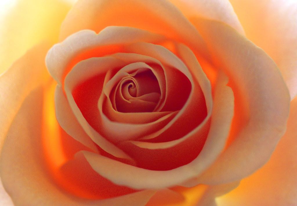 Rose Study No. 2