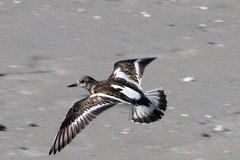 flying - ruddy turnstone?