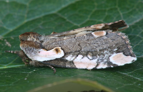 6240 - Euthyatira pudens - Dogwood Thyatirid (2)
