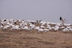 219_11 (lisa_praul) Tags: flock landing middlecreek snowgeese