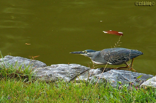 Striated Heron hunting dragonfly