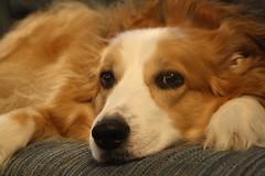 IMG_0066 (Karen.E.Rice) Tags: dog shepherd mindy brownandwhitedog englishshepherd
