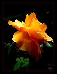All my best (sevgi_durmaz) Tags: flowers nature beautiful beauty rose wow wonderful adorable orangerose excellent lovely abigfave diamondclassphotographer naturephotoshp theunforgettablepictures theperfectphotographer goldstaraward spiritofphotography flickrlovers awesomeblossoms