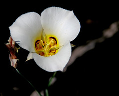 (rachel merriman) Tags: macro whiteflower blossom creamy