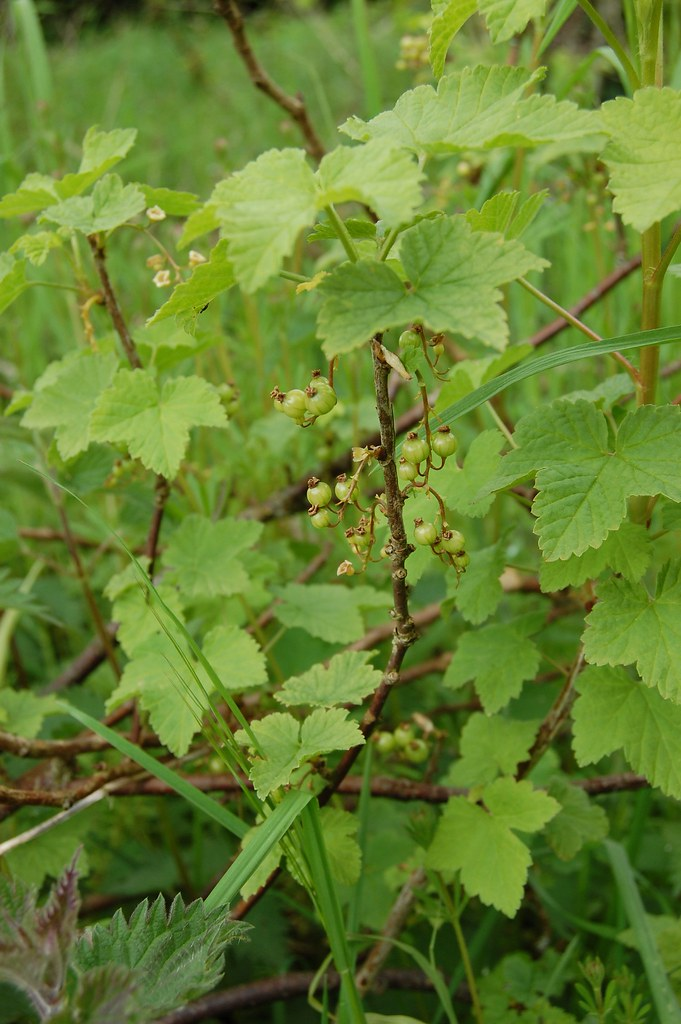 green redcurrants