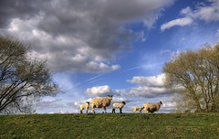 England: Northamptonshire - Spring Scene (Tim Blessed) Tags: uk sky nature clouds ilovenature landscapes countryside spring scenery sheep fields pastures singlerawtonemapped
