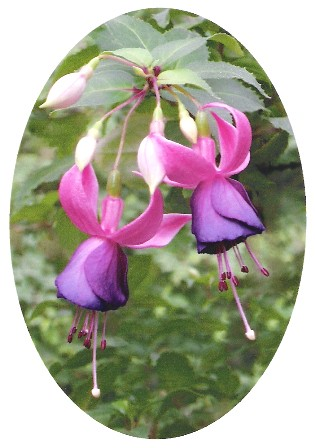 All_Aglow_Fuchsia