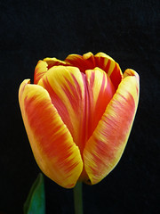 Orange and yellow (annkelliott) Tags: flowers orange canada flower detail macro calgary nature yellow vertical closeup blackbackground digital garden lumix petals spring flora colorful image nopeople explore indoors photograph alberta tulip sideview excellence flowerhead singleflower colorimage interestingness205 i500 annkelliott floralexcellence fz28 panasonicdmcfz28 p1050048fz28 explore2009may5