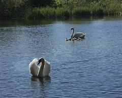 Swans (J1M_B1) Tags: swans cygnets