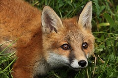 IMG_2265 (Janet-Hedger) Tags: redfox janethedger