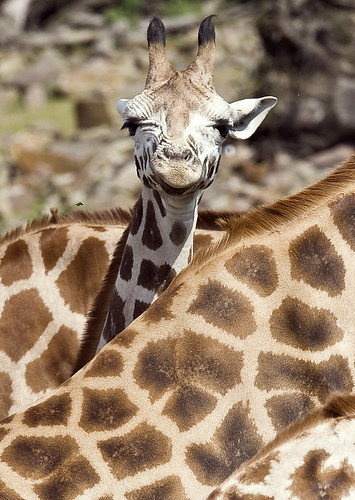 Giraffes at a German Zoo (AP Photo/Martin Meissner)