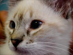 Kitty (Bruno R.B S.) Tags: brazil macro reflection eye animal brasil contrast cat puppy nikon kitty gato 1855mm filhote d40 flickrlovers