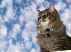 Marley in the Sky (joecrowaz) Tags: arizona cats pets animals clouds naturesfinest supershot kissablekat bestofcats impressedbeauty kittyschoice catmoments vosplusbellesphotos alittlebeauty oscarsurrealleous mmmilikeit