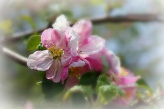 Apple blossoms (Jean Knowles) Tags: pink white green apple leaves rose branch novascotia searchthebest blossoms explore twig arr geotag allrightsreserved shelburnecounty sunight blueribbonwinner malusdomestica atwoodsbrook citrit nottobeusedwithoutmypermission goldstaraward artofimages 2009jeanknowles