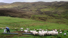 Farmer feeding his blackface sheeps (Bn) Tags: wool scotland topf50 isleofskye sheeps scottishhighlands beautifullandscape 50faves moresheepsthanpeople toughandadaptablebreed blackfacesheeps farmerfeedinghissheeps hornedsheeps