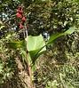 Indian shot (Canna indica - forma coccinea -) ACHIRA ROJA ~ Original = (2513 x 2816) (turdusprosopis) Tags: plantasbrasileiras cannaceae cannaindica florabrasileira brazilianflowers floraargentina floramisionera plantasargentinas plantasdeargentina floradeldeltadelparaná naturalezaargentna naturalezadeargentina naturalezadelaargentina floraautóctonauruguaya floraautóctonadeuruguay floraautóctonadeluruguay plantasautóctonasargentinas plantasautóctonasdelaargentina floraautóctonaargentina floraautóctonadeargentina plantasnativasargentinas plantasnativasdeargentina plantasnativasdelaargentina plantasparaguayas brazilianplants floradeluruguay plantasuruguayas florauruguaya plantasdeluruguay floradeldelta floradelaargentina floradeargentina plantasautóctonasdeluruguay floranativauruguaya floranativadeuruguay plantasautóctonasdeargentina floraautóctonadelaargentina floradelparaguay floradeparaguay floraparaguaya plantasdelparaguay plantasdeparaguay plantasautóctonasdelparaguay floranativabrasileira floranativadobrasil floradobrasil floradoriograndedosul plantascorrentinas plantasnativasdobrasil argentineflowers indigenousflowersofargentine argentineindigenousplants plantasnativasdeentreríos floracorrentina floradecorrientes floraentrerriana floradeentreríos plantasdecorrientes plantasdeentreríos indigenousplantsofargentine argentineindigenousflowers indigenousfloraofargentine floraofargentine argentineflora floweringplantsofargentine paraguayanflowers achiraroja canáceas cannáceas achiracolorada