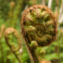 unfolding (ecstaticist) Tags: life light wild plant fern macro me nature sign project circle death this living spring die all notice earth buddha live feel birth it frond part enjoy cycle be end environment swirl curl makes awareness metaphor begin unfurl cultivate hewasright tennuousness canyouseeandfeelthedelicatebalancethatgovernsourveryexistence pleasetakecareofyoursurroundings pleasedontshitinyourownnestmy8thgradeteachertookmeasideandtoldmethatwheniwasbehavingbadlyinschool itwasagoodpieceofadviceonamacroscale